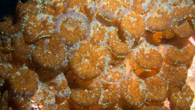 Corallimorphs with parasitic flatworms Royalty Free Stock Image