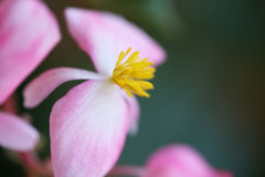 Coralline begonia Royalty Free Stock Image