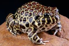 Coralline frog / Leptodactylus laticeps Royalty Free Stock Photos