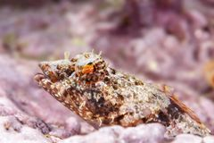Coralline sculpin in Channel Islands Park royalty free stock photos