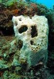 Corallo Immagine Stock