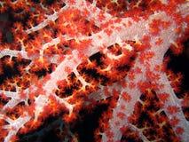 Corallo Fotografia Stock