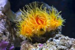 Corallo arancio della tazza Fotografia Stock Libera da Diritti
