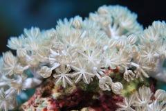 Corallo bianco di impulso fotografie stock libere da diritti