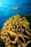 Corallo del cavolo e Lyretail Anthias Fotografia Stock Libera da Diritti
