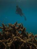 Corallo del corno degli alci e dell'operatore subacqueo alla grande scogliera di barriera Fotografia Stock