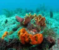 Corallo del fuoco Fotografia Stock