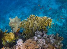 Corallo del fuoco sul mare della scogliera in rosso Fotografia Stock