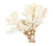 Corallo del mare Fotografia Stock Libera da Diritti