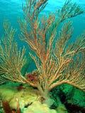 Corallo del Rod del mare Fotografia Stock Libera da Diritti