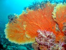 Corallo del ventilatore di mare Fotografia Stock