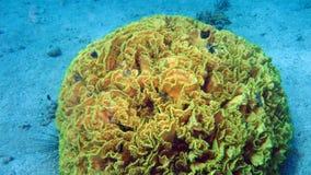 Corallo dell'insalata alla barriera corallina del Mar Rosso Immagini Stock Libere da Diritti