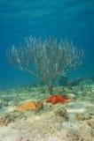 Corallo della barretta del mare e delle stelle marine subacqueo Fotografie Stock