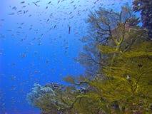 Corallo della gorgonia Fotografia Stock Libera da Diritti