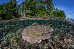 Corallo della Tabella sulla scogliera tropicale bassa Fotografia Stock Libera da Diritti