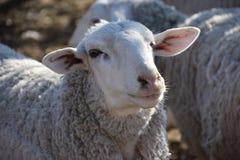 Corallo delle pecore del ` s della nonna: Allevamento di pecore navajo nel XXI secolo fotografie stock