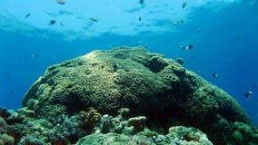 Corallo di cervello al Mar Rosso dell'Egitto Fotografie Stock