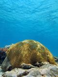 Corallo di cervello nel mar dei Caraibi Fotografie Stock Libere da Diritti