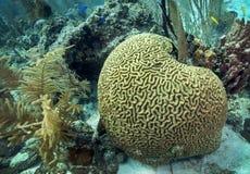 Corallo di cervello - scogliera di Belize Fotografie Stock Libere da Diritti