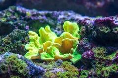 Corallo di dura di Sinularia in natura immagini stock libere da diritti