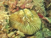 Corallo di fungo Fotografia Stock Libera da Diritti