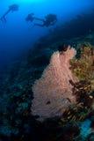 Corallo di Gorgone e dell'operatore subacqueo Immagine Stock