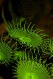 Corallo di Zoanthid Immagini Stock Libere da Diritti