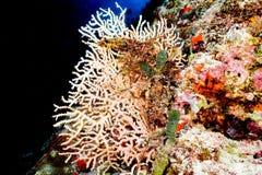 Corallo duro Immagini Stock