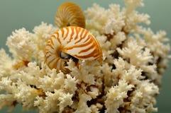 Corallo e nautilus bianchi Fotografia Stock Libera da Diritti