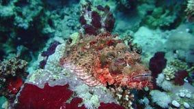 Corallo e pesci nel Mar Rosso stock footage