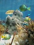 Corallo e pesci nel mare caraibico fotografie stock