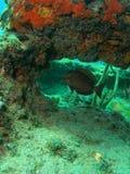 Corallo e un pesce Fotografie Stock