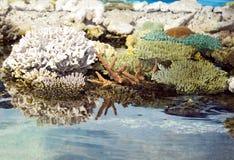 Corallo ed acqua Fotografie Stock Libere da Diritti