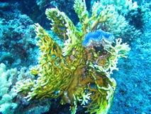 Corallo giallo in Mar Rosso Fotografia Stock Libera da Diritti