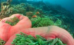 Corallo Maldive dell'anemone Fotografie Stock Libere da Diritti
