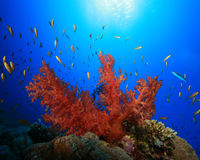 Corallo molle e Lyretail Anthias Immagini Stock