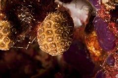 Corallo molle mediterraneo Fotografie Stock Libere da Diritti