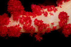 Corallo molle rosso fotografia stock libera da diritti