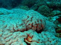 Corallo pietroso fotografia stock