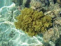 Corallo regolare, barriera corallina   Immagine Stock Libera da Diritti