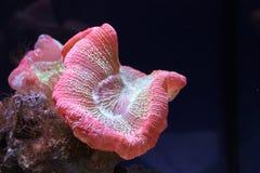 Corallo rosa Immagini Stock