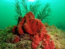 Corallo rosso con le piume del mare Fotografie Stock Libere da Diritti