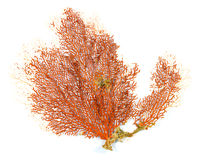 Corallo rosso del fan di Mar Rosso o di Gorgonian isolato su fondo bianco Fotografia Stock