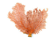 Corallo rosso del fan di Mar Rosso o di Gorgonian isolato su fondo bianco Immagini Stock