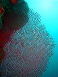 Corallo rosso del ventilatore immagine stock