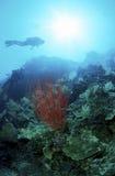 Corallo rosso guardato dagli operatori subacquei Immagini Stock Libere da Diritti