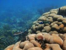 Corallo a San Blas, Panama Immagini Stock Libere da Diritti