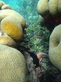 Corallo a San Blas, Panama Immagine Stock