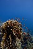 Corallo-Scogliera in acque profonde con i pesci intorno Fotografia Stock