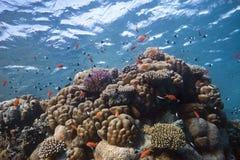 Corallo-Scogliera con i pesci intorno Immagini Stock